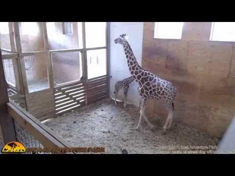 Animal Adventure Giraffe Cam - June 1   lodynt.com  لودي نت فيديو شير