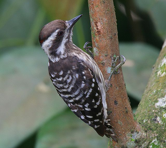 Brown-capped Woodpecker(Dendrocopos nanus) photographed by Eddy Lee at Bt.Panjang, Singapore on 1st October 2006