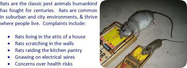 How To Keep Rats Away From Attic House Building Rat Prevention Tips Other Pests Attic Renovation Attic Attic Flooring