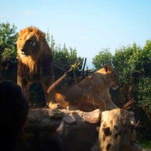 Leoni al parco zoo di Falconara