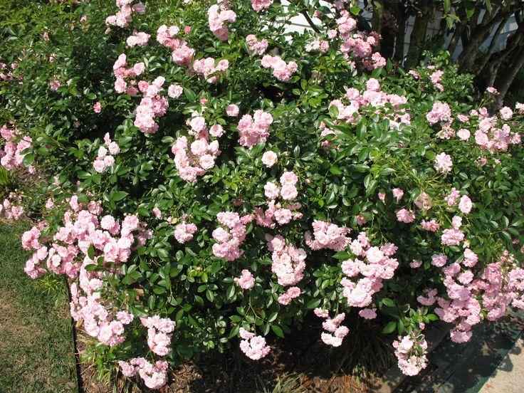 Rosa 'The Fairy' - The Faery rózsa