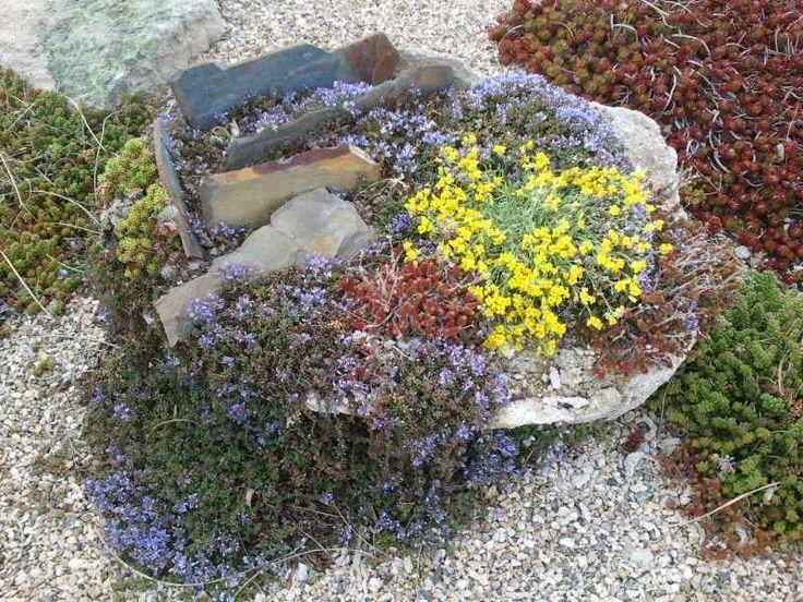 jardin de rocaille miniature avec plantes alpines tapissantes