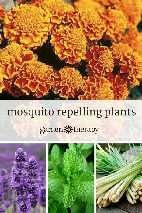 Include these beautiful, mosquito repelling plants in your landscape, particularly around entertaining areas, and you can rub them or brush them when you pass by releasing the scents.