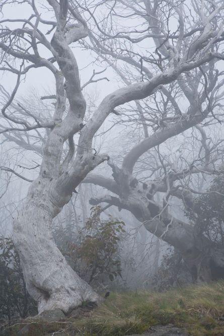 Old and burnt Snow Gums near Kiandra.