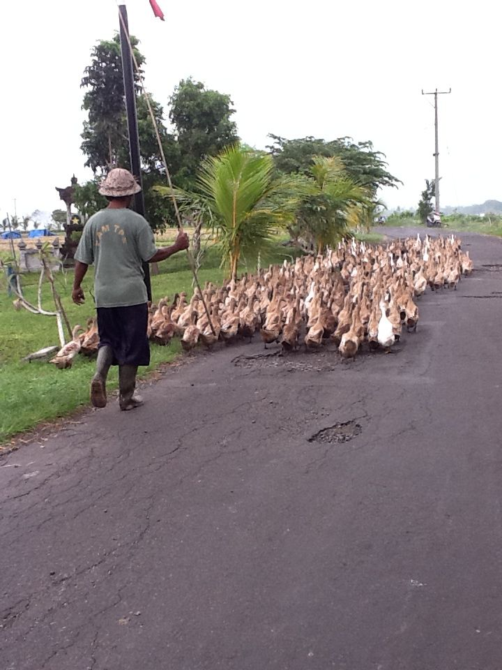 Bali- more ducks. The cars have to wait.