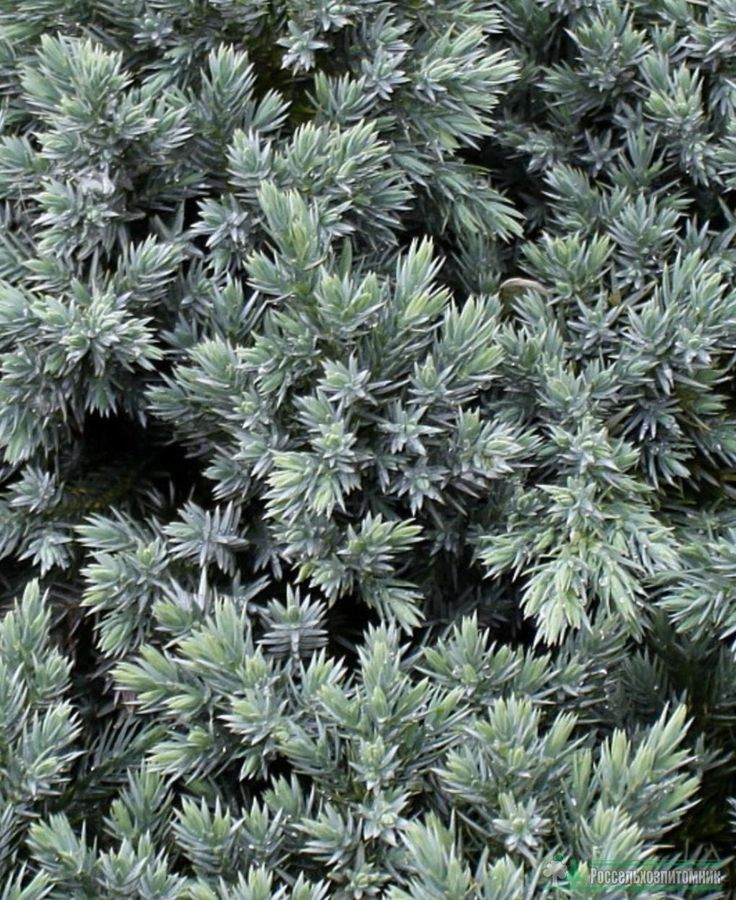 25 Best Ideas About Juniperus Squamata On Pinterest