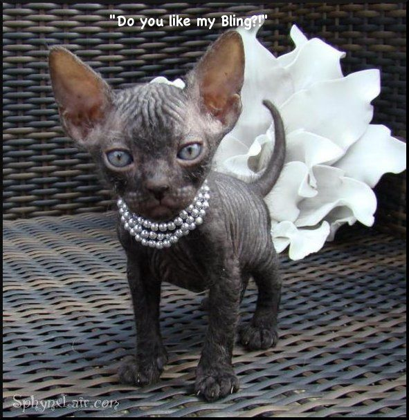 Sphynx kitten in pearls with an origami somethin' or other blowing out of it's butt...