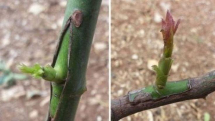 Aprende a enxertar árvores de fruto facilmente e no momento certo.Graças à técnica do enxerto a fruticultura se desenvolveu.