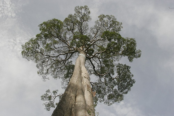Tall, captivating tree of the sky in the rainforest of Indonesia; sumatra beauty.