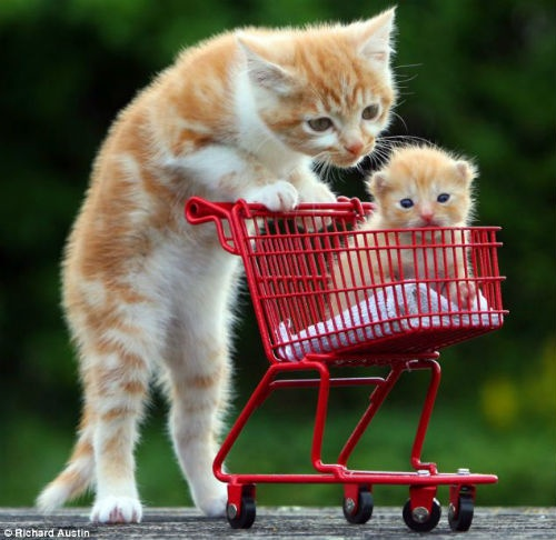 Kitten pushes smaller kitten in a cart.