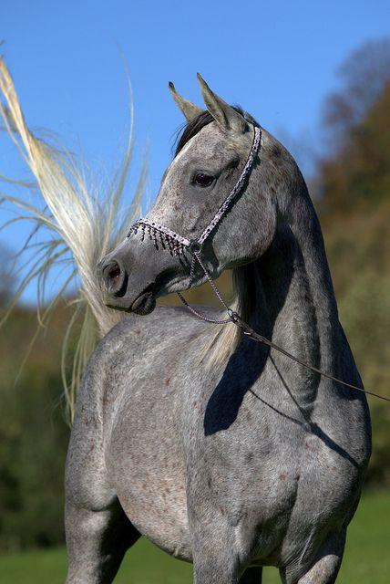 Beautiful Arabian horse. - Namrata091014 2425 -1