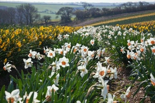 The country's oldest daffodil hotspot