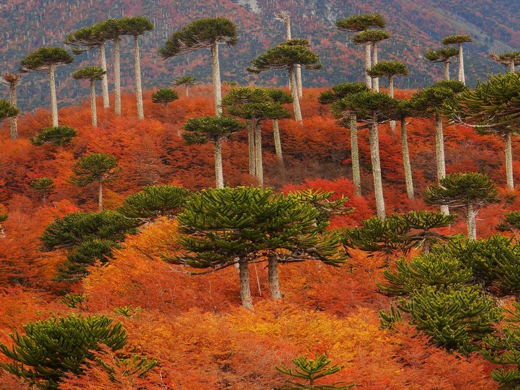 Monkey Puzzle Forest, Chile