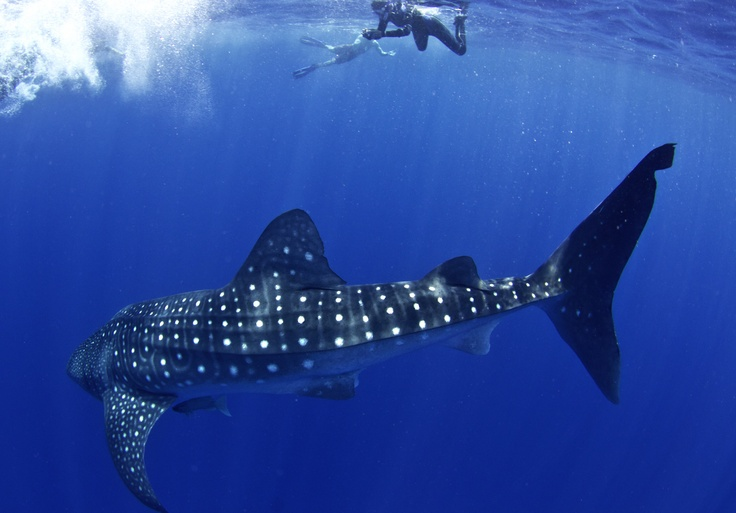 Whale SharkDiving Tops, Whales Sharks, Whale Sharks, 10 Diving, Sharks Ocean, My Buckets Lists, Bucket Lists, Tripbucket Whales, Travel Buckets