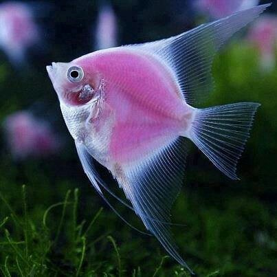 a pink angel fish i want one cool water creatures