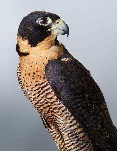 Peregrine Falcon, the fastest animal on earth
