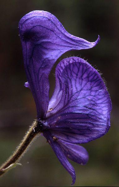 "Aconitum -- Monkshood. (Monkshood, ""aconite"", ""Wolf's Bane"", Fuzi, ""Monk's Blood"", or ""Monk's Hood"") is a species of Aconitum in the family Ranunculaceae,"
