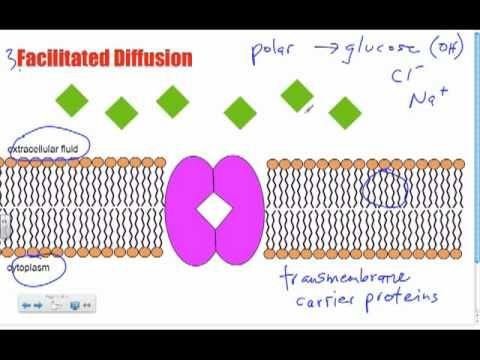 ▶ Bio B10 - Facilitated Diffusion: Passive Transport - YouTube
