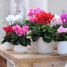 Ciclamen, por semente. Plantação: Outono e Inverno. Floração: Verão, Outono, Inverno. Cultivo: Solos bem drenados e ricos em matéria orgânica. Sol ou meia sombra. Utilização: planta de interior ou exterior em vaso, floreira. Manutenção: Gosta de regas frequentes. Devem-se arrancar com a mão as hastes florais no final da floração (se cortar fica um emaranhado). Por vezes podem arrancar algumas folhas mais velhas e mais descoradas para favorecer o aparecimento de folhas e flores novas.