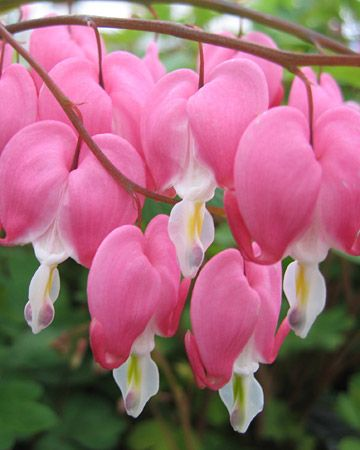 pink bleeding hearts along with a huge weeping willow tree