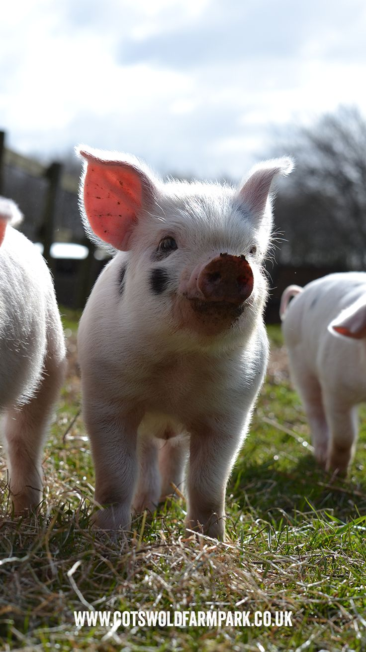 Free phone backgrounds!  Cheeky Gloucestershire Old spot piglets are one of our all time favorites!