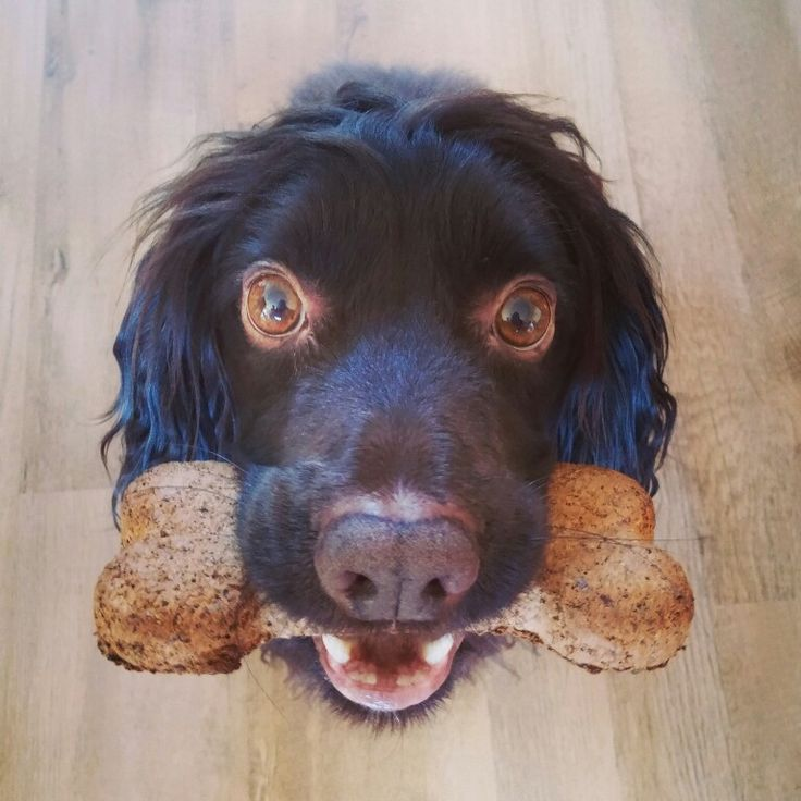 Bobby and his big biscuit. Working cocker spaniel