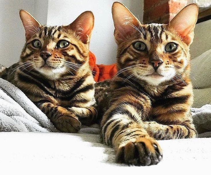 Wishing our extra special buddies @bklynbengal Leo and Asher a very Happy Thanksgiving! Eat lots of turkey treats       Follow us: -@bengalcatloves Douple tap and tag your #BengalCat loving friends below! Be sure to hit follow for awesome pics! ------------------------- From: @porkyandchops ------------------------- Thank you so much ! #NicePics