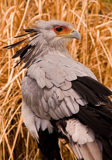 Denver Secretary Bird 3-0 F 5-7-08 J025 by sunspotimages, via Flickr