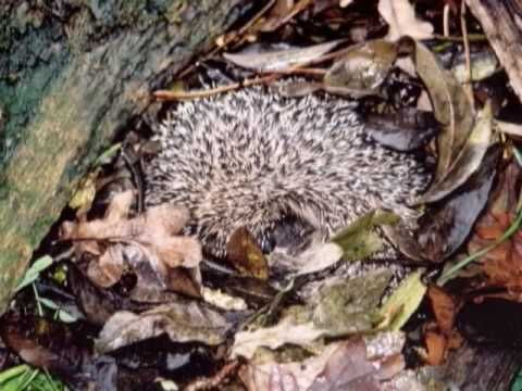 ▶ Hibernation - YouTube show real life examples and explains difference between hibernation and sleeping. For more pins like this visit:http://pinterest.com/kindkids/sensual-science-charlotte-s-clips/