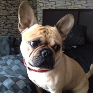 Frug (French bulldog + pug) | 19 Unusual Cross-Breed Dogs That Prove Mutts Are The Ultimate Cute