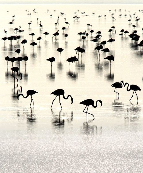 Black white flamingo