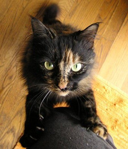 Google Image Result for http://www.catfacts.org/tortoiseshell-and-calico-cat-facts.jpg