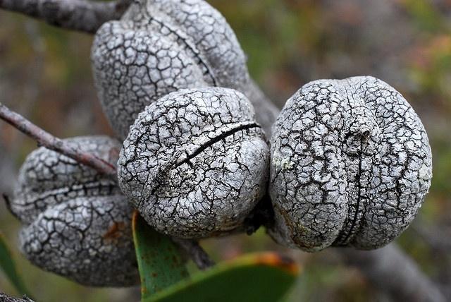 Hakea pandanicarpa seed pods
