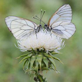 <3: Beautiful Butterflies, Beautiful Bugs, Butterflies Kiss, Butterflies Wings, Beautiful Wings, Faeries Wings, White Butterflies, Weights Loss, Wings Faeries