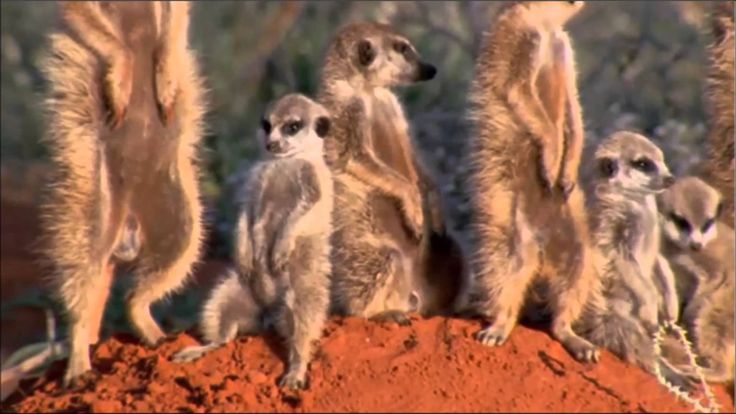 Meerkats Falling Asleep Standing Up by David Attenborough | Outdoor Recreation | Pinterest | David attenborough