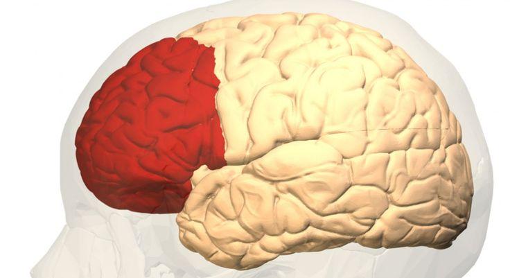 Exploramos la corteza prefrontal, una de las partes del cerebro más interesantes, ya que es la que nos hace humanos capaces de planificar y tomar decisiones.