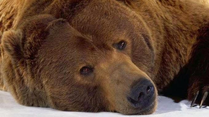 PETALI DI CILIEGIO ...per coltivare la speranza: In difesa degli animali: gli orsi bruni