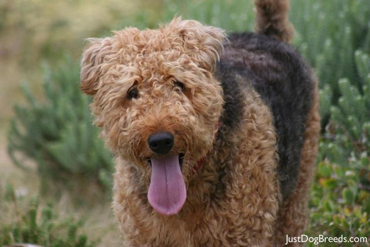 Ungroomed Airedale ) D O G S Pinterest Airedale