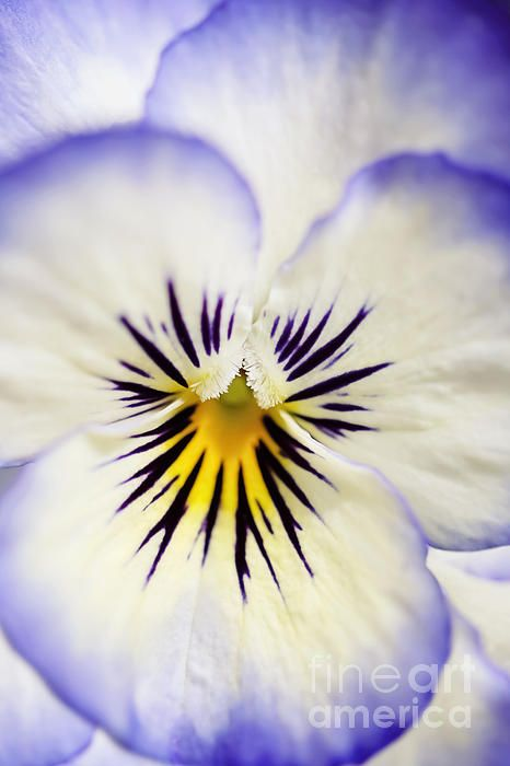 Pretty Pansy Close Up Photograph  This is a close up, color photographic image of a Pansy flower. The name of the Pansy is Viola Sorbet - Coconut Swirl. The main colors of the image of purple and cream. This would make for quite a striking print or canvas work of wall art and would suit a variety of different interior design and home decor schemes.  Natalie Kinnear Photography  www.nataliekinnearphotography.co.uk  www.facebook.com/natkphoto
