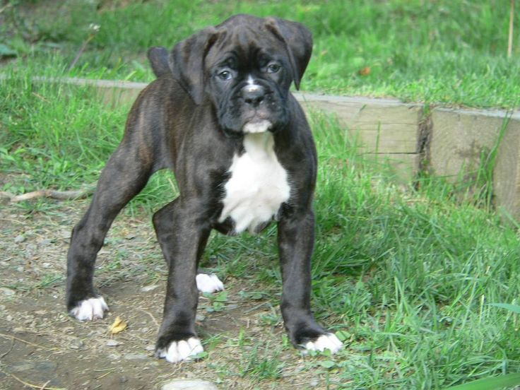 boxer puppies black | White Boxer Puppy