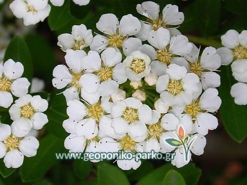 Ανθοφόροι θάμνοι : Σπειραία | Spiraea japonica