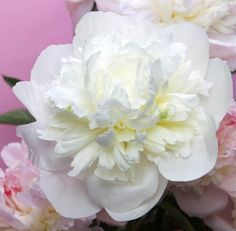A very old but extremely beautiful Peony, award-winning 'Duchesse de Nemours' (Paeonia Lactiflora) is well worth including in your garden. Free-flowering and deliciously scented