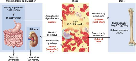 31+ Blood calcium levels and osteoporosis info