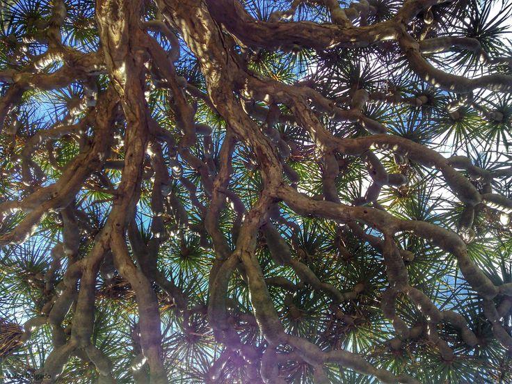 El Drago (dracaena draco), es una especie vegetal típica de zonas con clima subtropial como es el de Canarias. De sus entrañas se obtiene una resina rojiza