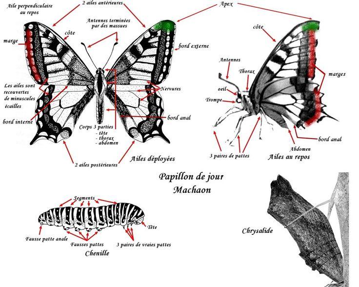dessin descriptif papillon de jour chenille nymphe pas de papillons sans chenilles pinterest. Black Bedroom Furniture Sets. Home Design Ideas