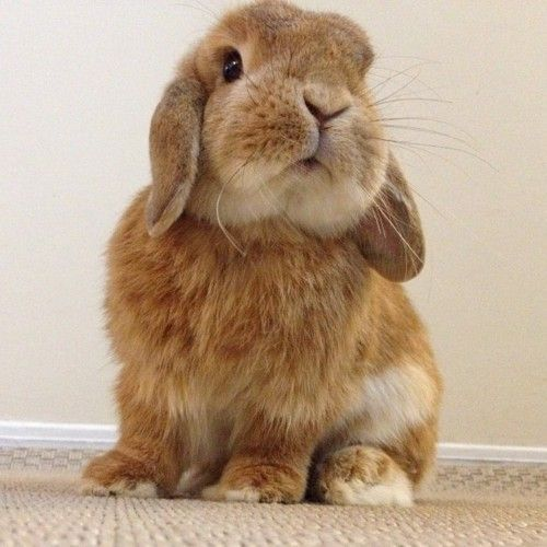 I can't stand it!! Flopped eared bunny!  I want him