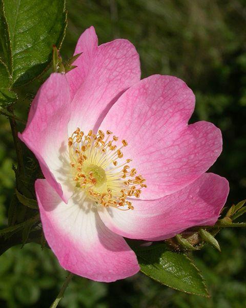 Olio di Rosa Damascena/Bulgara (Otto) -  Quest'olio è conosciuto per aiutare a diminuire la nausea, i dolori mestruali e la tensione. É inoltre considerato utile per migliorare la circolazione, avere un effetto afrodisiaco, e aiutare contro stress, asma e allergie. L'olio di rosa emana un piacevole aroma in grado di rilassare e sollevare lo spirito e la mente durante momenti di stress, tensione o debolezza. Solo per uso esterno.