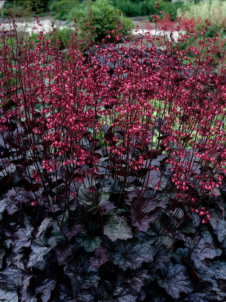 Heuchera Fantasy Swirling With Images Heuchera