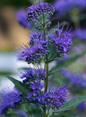 Caryopteris x. clandonensis 'Dark Knight' - Bluebeard - yar!