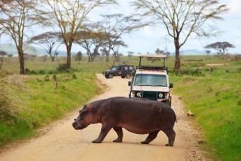 Flodhest der krydser vejen på safari i det østlige Afrika